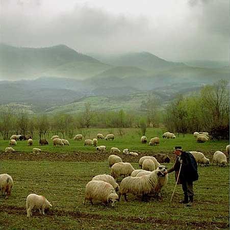 sheep Shepherd 1