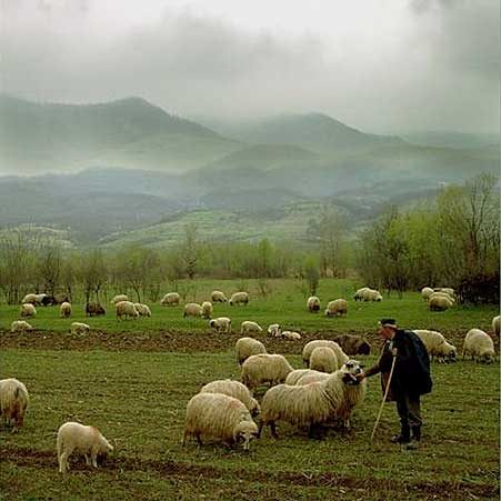 sheep Shepherd 1